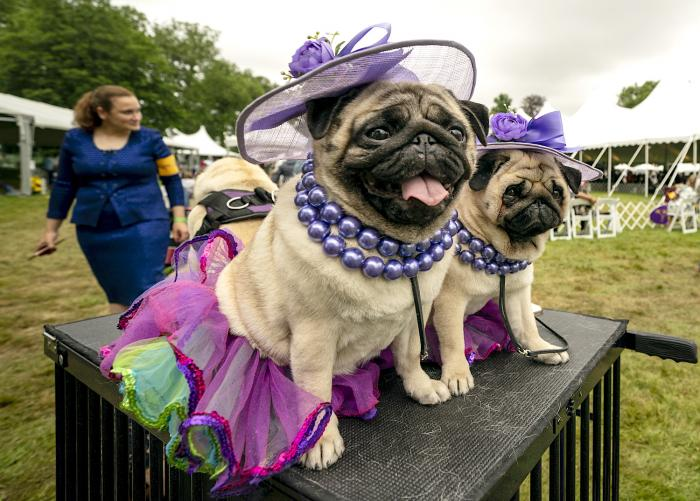 Matty Pugdashian, a pug, rests following their breed judging at the 145th Annual Westminster Kennel Club Dog Show.